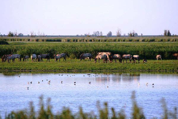 Konik horses of Oostvaardersplassen