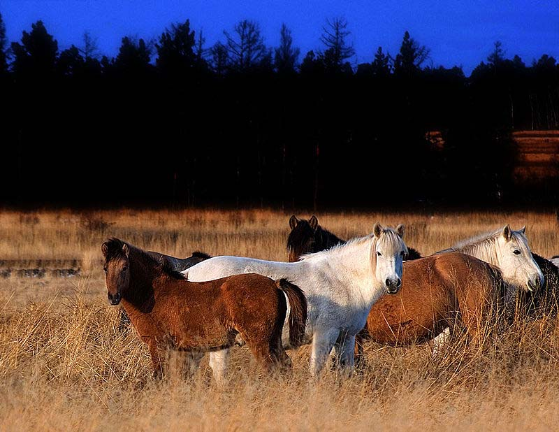 Yakut horses in Pleistocene Park
